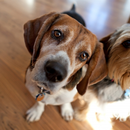 nosey: Cute beagle dog sitting down next to another dog and looking at the viewer.  Shallow depth of field. Stock Photo