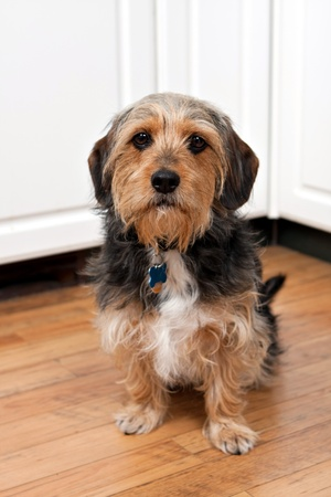 beagle mix: A cute mixed breed Borkie dog. The dog is half beagle and half yorkshire terrier.