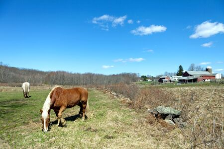 Two beautiful horses grazing in a field during early Spring time. photo