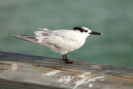 Black and white sand piper bird with a yellow tipped beak as spotted on the Clearwater beach pier in Florida USA. photo
