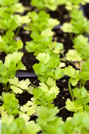 Close up of some celery plants in their young stage. Shallow depth of field. photo