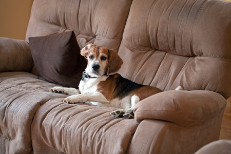 couches: A sneaky dog caught sleeping on the living room sofa. Stock Photo