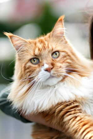 coon: Rare purebred Maine Coon cat close up.  Shallow depth of field.