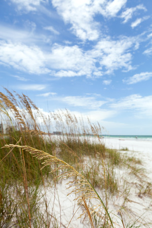 powdery: Siesta Key Beach is located on the gulf coast of Sarasota Florida with powdery sand. Shallow depth of field with focus on the grasses.