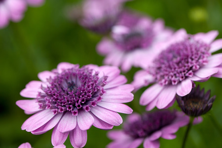 Close up macro of a purple flower.  Shallow depth of field.  photo