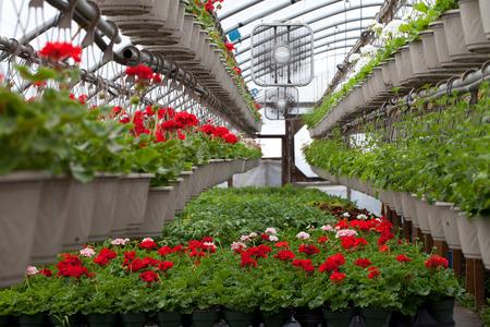 다양 한 다채로운 꽃 식물과 교수형 바구니 온실 종묘장.