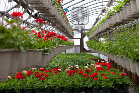 greenhouse: Greenhouse nursery with a variety of colorful flowers plants and hanging baskets.