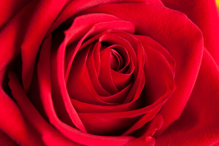 Red rose macro closeup showing the petals.  Shallow depth of field. Imagens