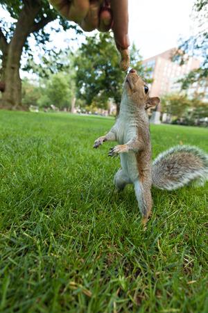trusting: Feeding a wild squrrel a peanut in a public park located in Boston Massachusetts.