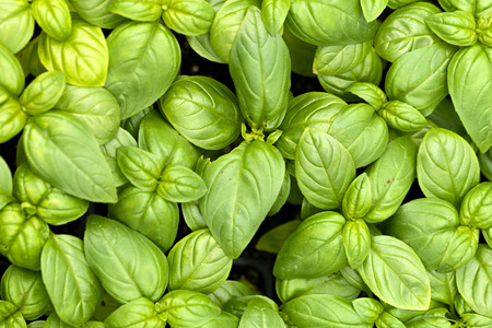 Close up of young basil plants.  Shallow depth of field.