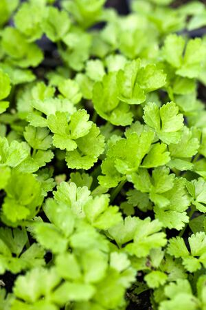Close up of some young celery plants. Shallow depth of field. Imagens