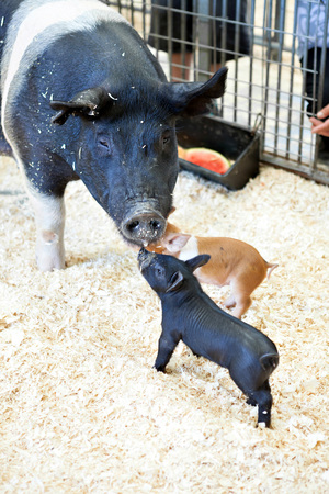 Black baby pig in a pigsty greeting its mother. Stock Photo