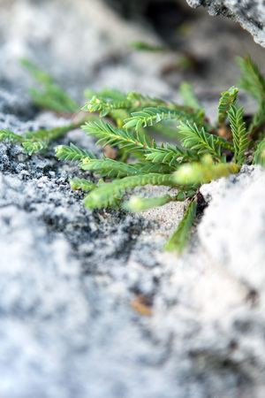 Wild tropical green Bermuda plant growing out of the rocks and sand on the beach near Jobsons Cove.  Shallow depth of field.