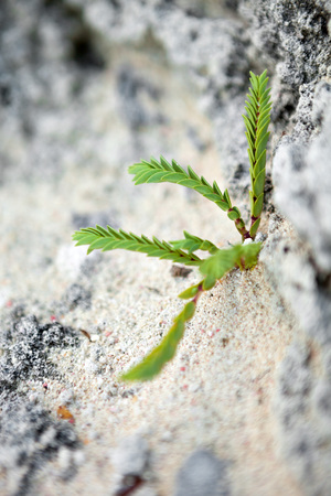 Wilde tropische groene Bermuda plant groeit uit de rotsen en zand op het strand in de buurt van Jobsons Cove. Ondiepe scherptediepte.