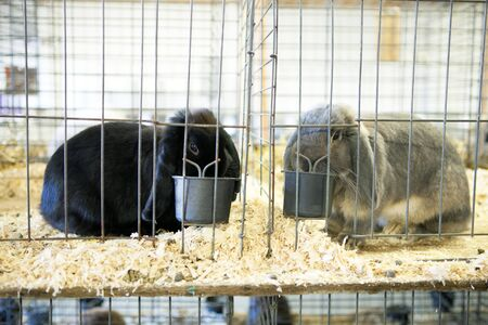 lop lop rabbit white: Cute caged bunnies on display one black and one gray French Lop rabbit referred to as a dust bunny.