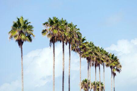 Een rij van palmbomen in een tropische setting Florida.