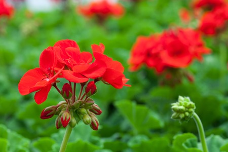Macro closeup of some red flowers with a shallow depth of field. Archivio Fotografico