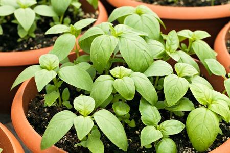 Jonge ingemaakte basilicum planten. Ondiepe diepte van het veld.