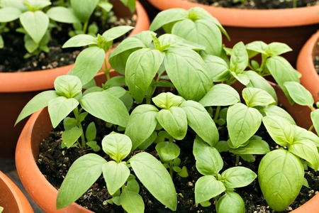 Young potted basil plants.  Shallow depth of field. Stock Photo