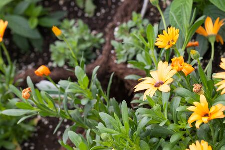 Fresh Orange Flowers with a shallow depth of field. Stock Photo