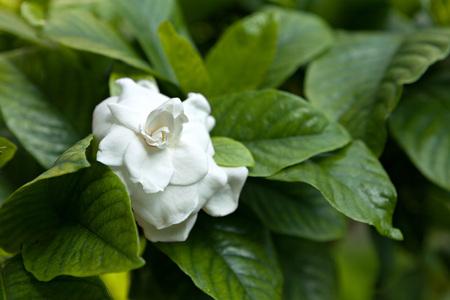 Macro closeup of some white flowers growing on a bush like plant. Stock Photo