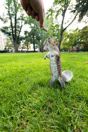 Het voeden van een wilde eekhoorn een pinda in een openbaar park gelegen in Boston Massachusetts. Stockfoto