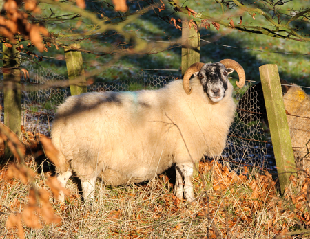 Black-faced Sheep, Scotland 版權商用圖片