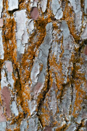 Abstract background  texture of rough irregular plates of red tree bark with random orange coating