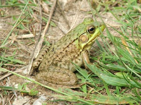 This frog, sitting at the edge of one of my favourite wildlife ponds, was so camouflaged, it almost got stepped on. Had it not moved, I never would have seen it.