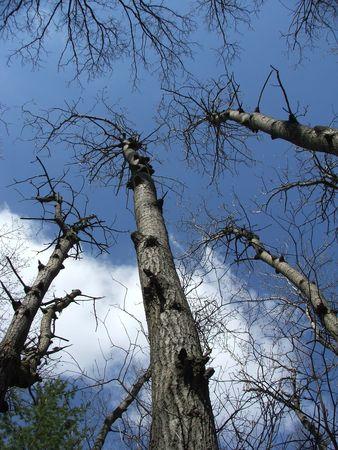 towering: Una vista al alza de los �rboles alt�simos en un c�lido Abril cielo.  Foto de archivo