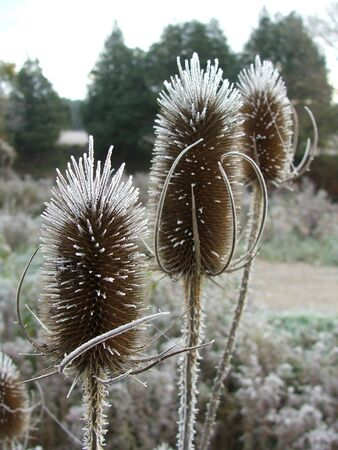 Frosty thistles on a cold October morning.
