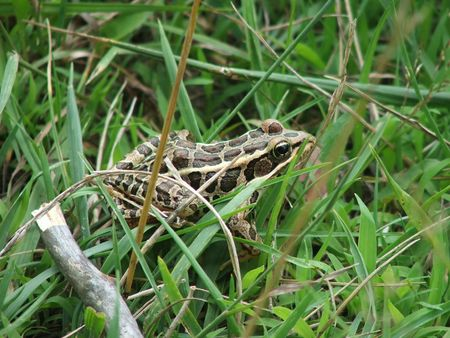 A frog, camouflaged in the grass. 版權商用圖片