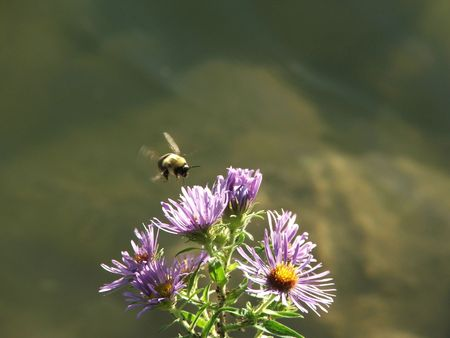 A bumble bee hovers over a cluster of lakeside wildflowers. 版權商用圖片