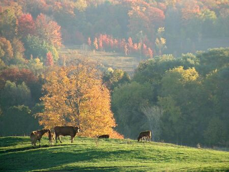 Cows foraging for food on a hilltop with an October landscape in the background.