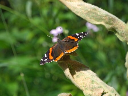 A Red Admiral butterfly basks in the morning sun.