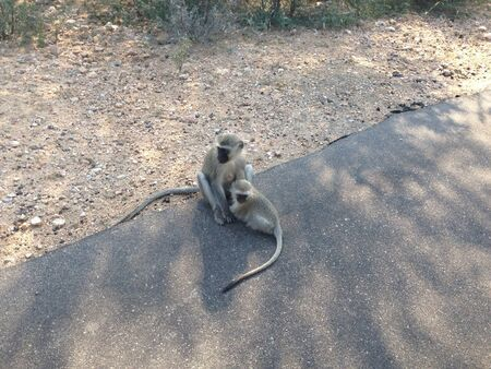 otganimalpets01: Young vervet monkey drinking from its mother