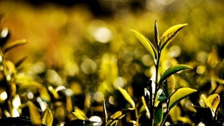 Tea Leaf Lizenzfreie Bilder