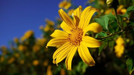 Nahaufnahme der mexikanischen Sonnenblume Lizenzfreie Bilder