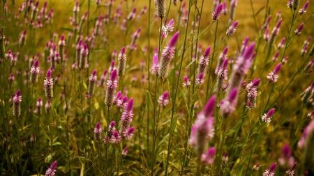 Rosa Grass