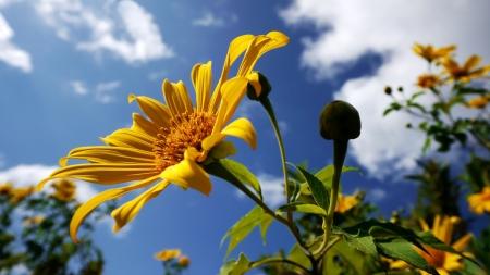 Mexikanische Sonnenblume an einem klaren Tag