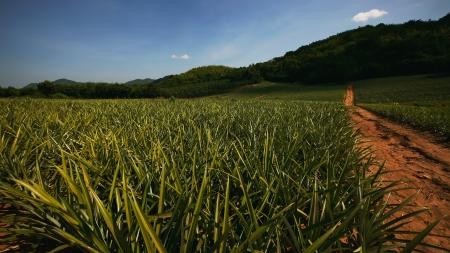 Pineapple Feld