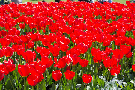 red tulips: bed of red tulips in a park
