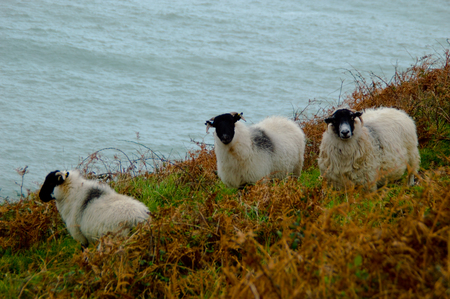 greenness: Three sheep in the wild countryside stare at the camera with curious eyes. The sea is raging behind.