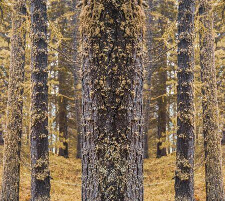 Autumn symmetrical pine tree in forest Banco de Imagens