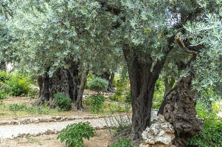 Olive tree cultivations