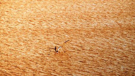 Windsurfer in the ocean at sunset