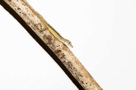Green lizard on branch on white background Archivio Fotografico