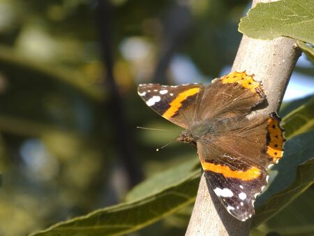 fig tree: butterfly on fig tree