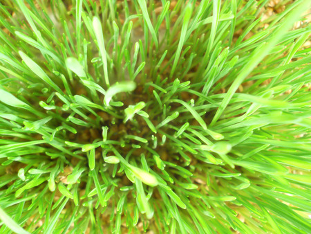 cultivated: sprouted grain macro cultivated detail Stock Photo