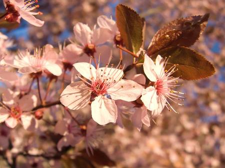prunus cerasifera: prunus Cerasifera Nigra Tree Purple Leaved Plum Trees Stock Photo